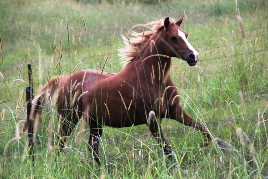 Photograph of running horse