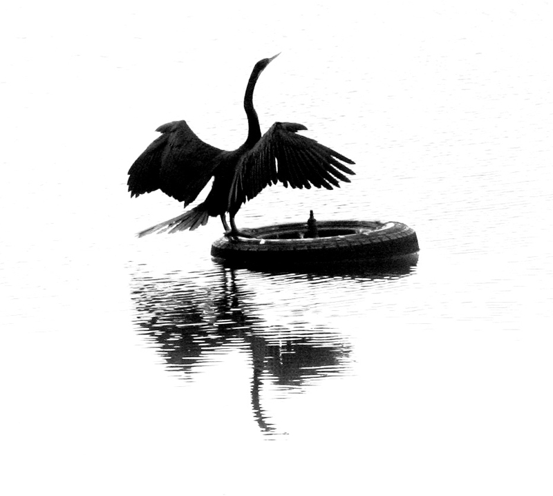 Mixed media black and white digital print of cormorant bird and tyre