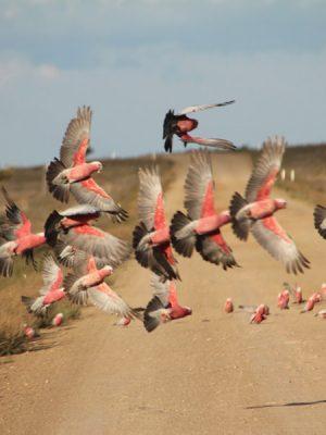 Photograph of flying galah birds