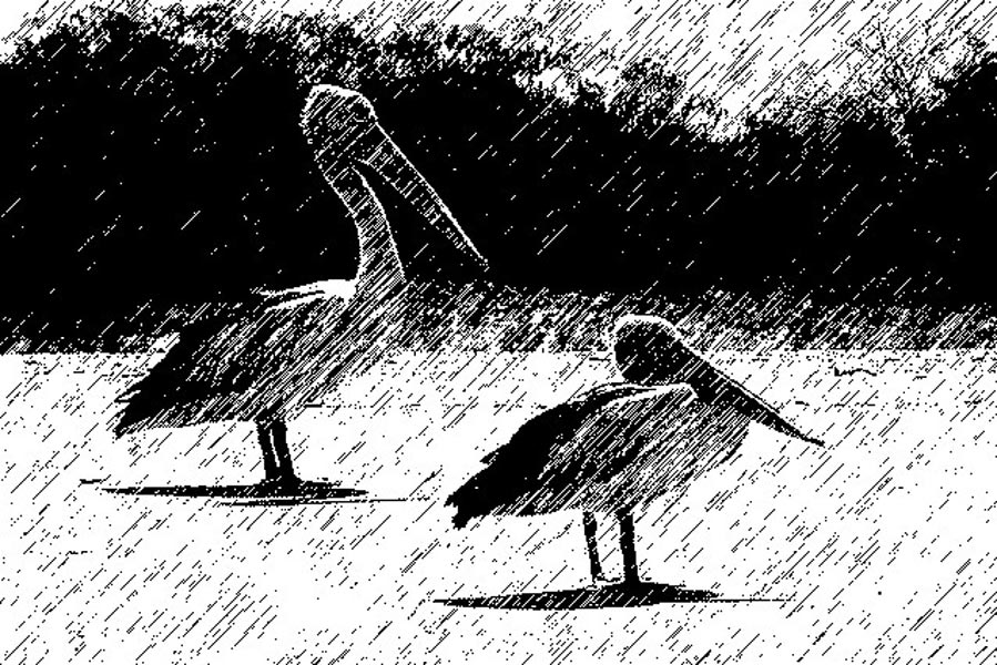Mixed media black and white digital print of pelican birds