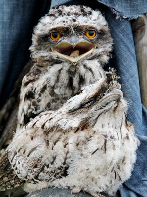 Photograph of tawny frogmouth baby birds