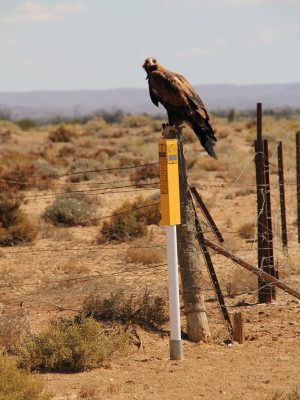 Photograph of eagle on post
