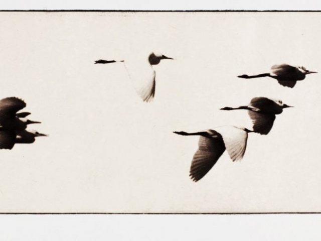 Print of flying ibis